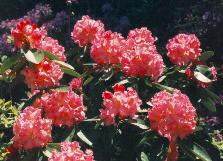 Rhododendron Wheatley